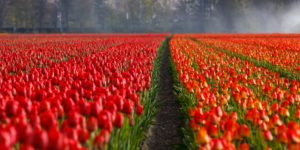 Tulip field- visit the Netherlands, learn Dutch